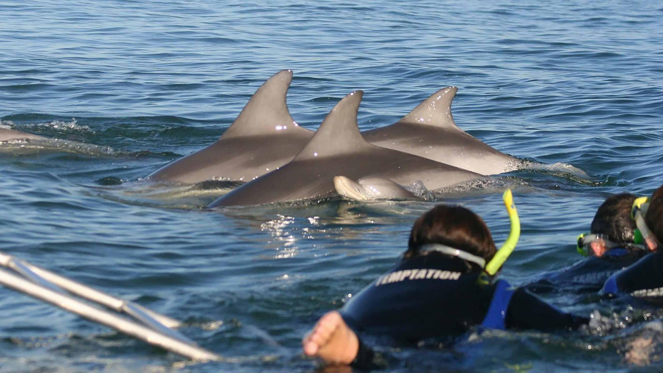swim-with-the-dolphins-temptation-sailing-glenelg